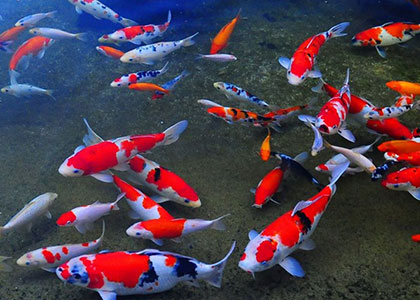 How to keep fish in a pond: nuances and equipment