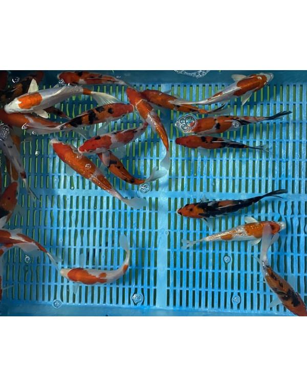 Карпы Кои (размер: 8 - 11 см)